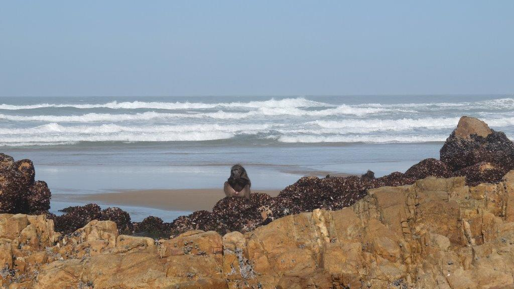 Baboons-Beach-foraging-08052016-6