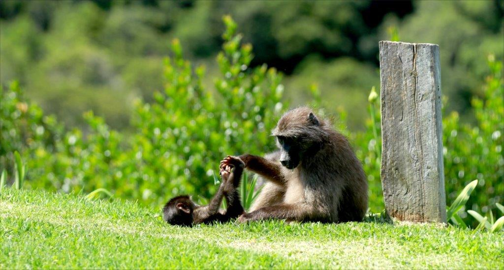 Baboons-Oct-2015-11