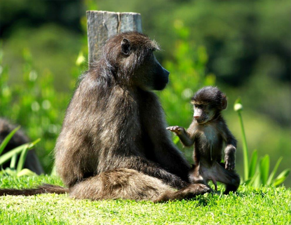 Baboons-Oct-2015-9
