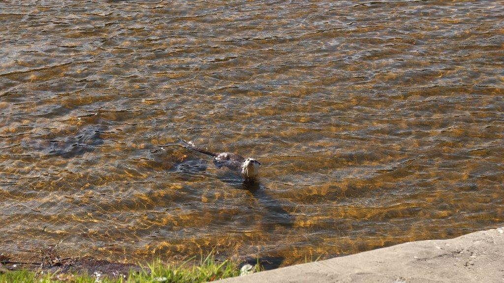 Otter-at-Noetzie-River-21-May-2016-7
