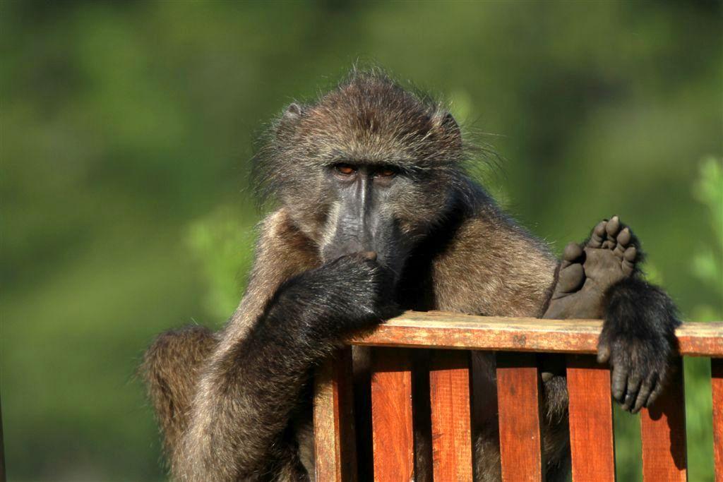 Noetzie baboon by Wendy Dewberry