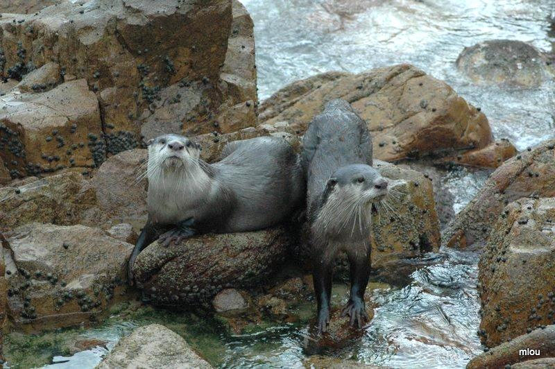 otters-at-noetzie-photo-by-robin-carpenter-frank-1