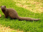 Mongoose-Buddy-bone-2