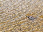 Otter-at-Noetzie-River-21-May-2016-2