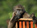 Noetzie baboon by Wendy Dewberry