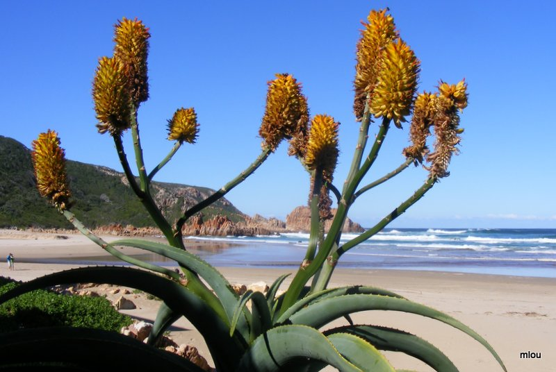 aloes-provide-winter-colour-at-the-beach