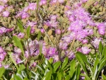 flora-pink-vygies